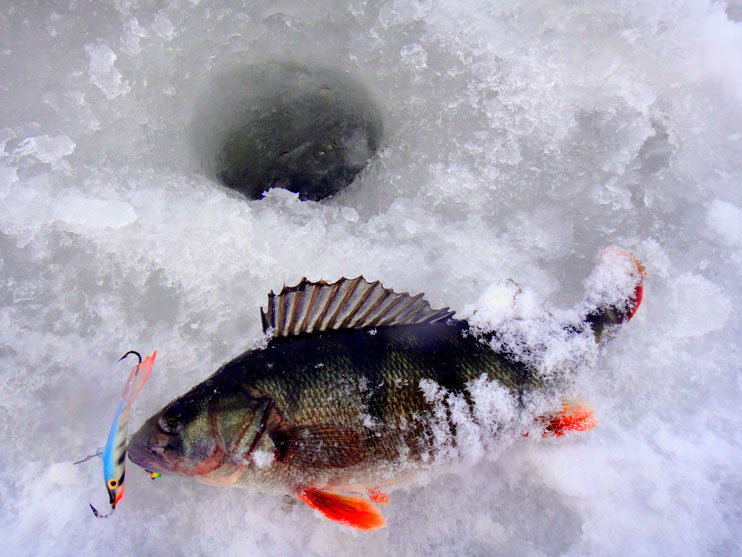 Ловля окуня зимой: поиск, снасти, приманки, техника и тактика